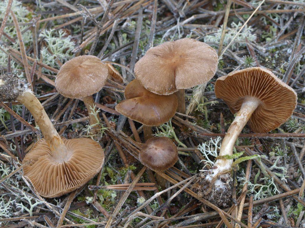 cortinarius pinar (FILEminimizer)