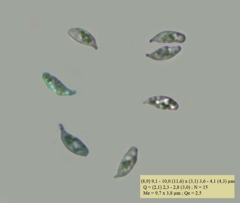 esporas H.lactea