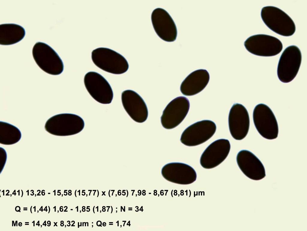 esporas macrocep
