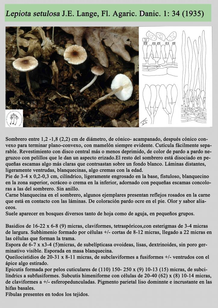lepiota setulosa2