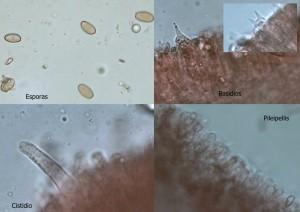 micro erebia