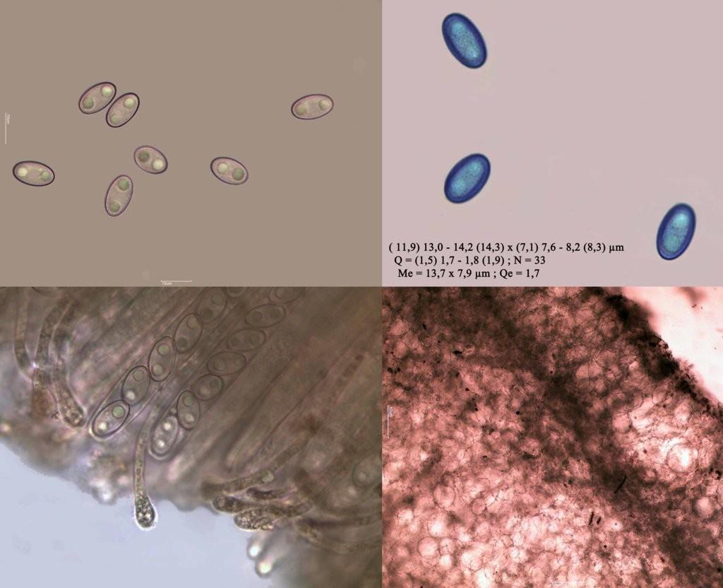 microficha pezizaviolacea (FILEminimizer)