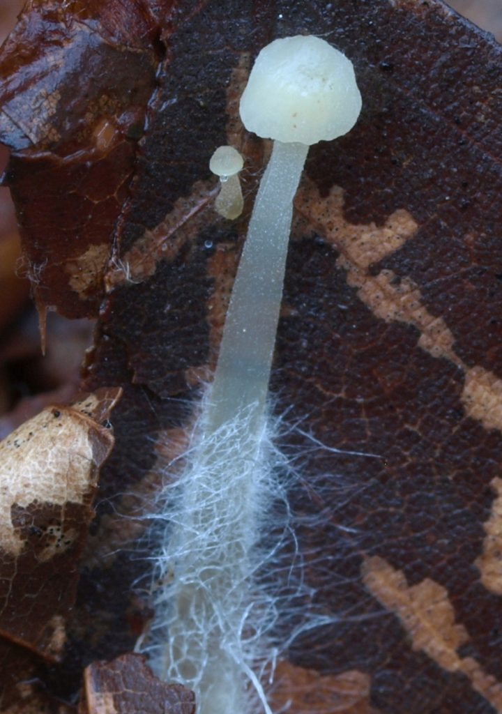 mycena flaves (FILEminimizer)