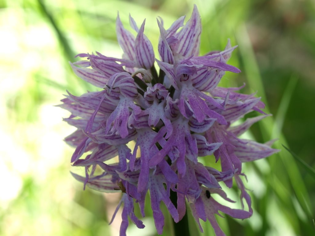 orchis italica (FILEminimizer)