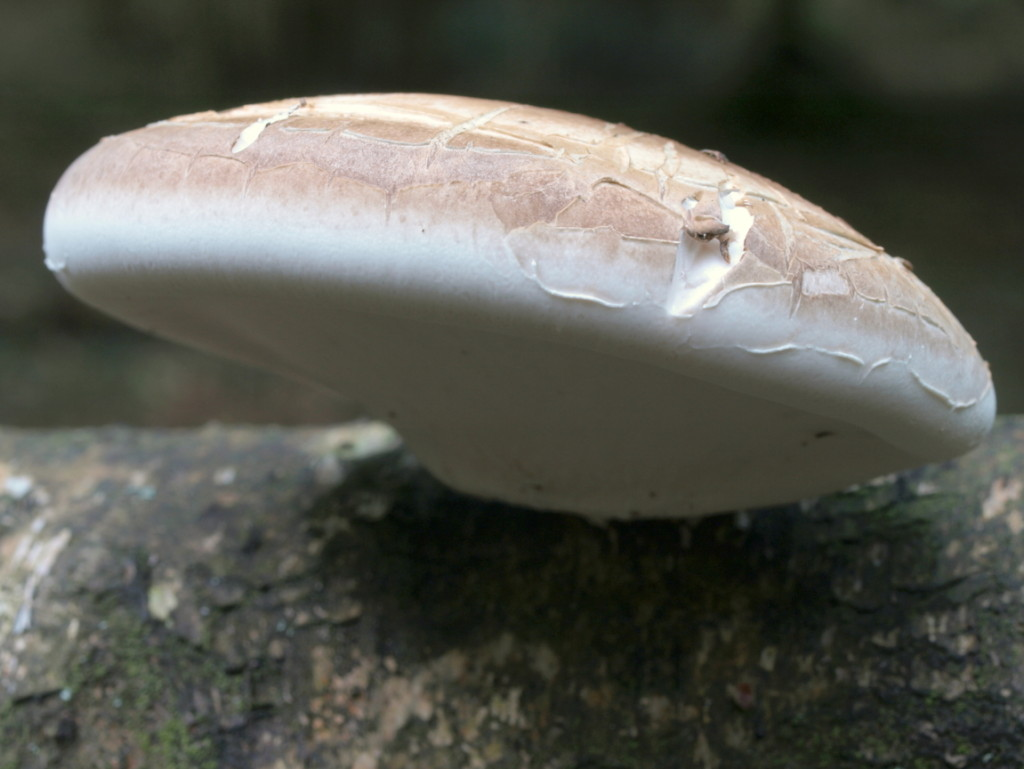 pictoporus betulinus (FILEminimizer)