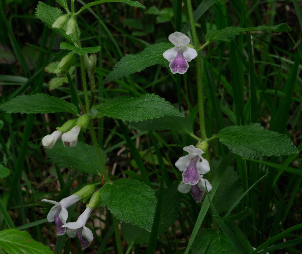 planta melittis melissophyllum