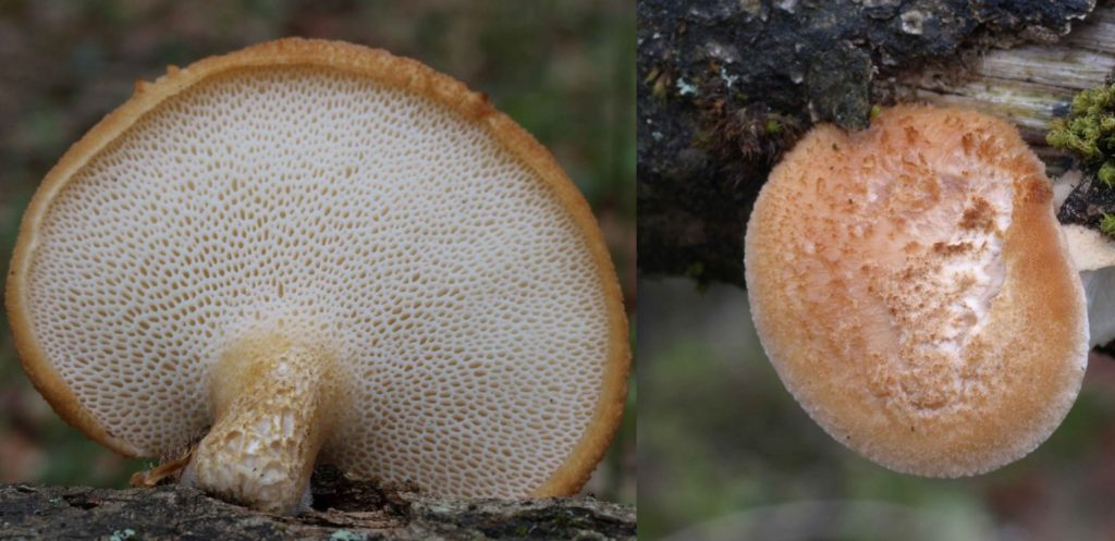 polyporus mor3i (FILEminimizer)