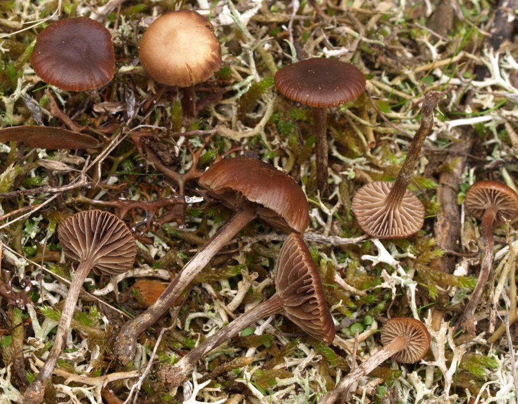 psilocybe montana (FILEminimizer)