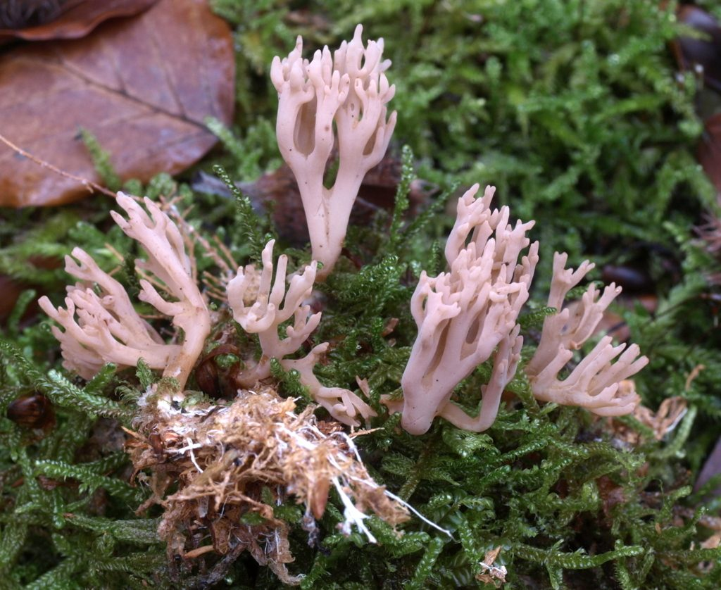 ramaria flaccida(FILEminimizer)