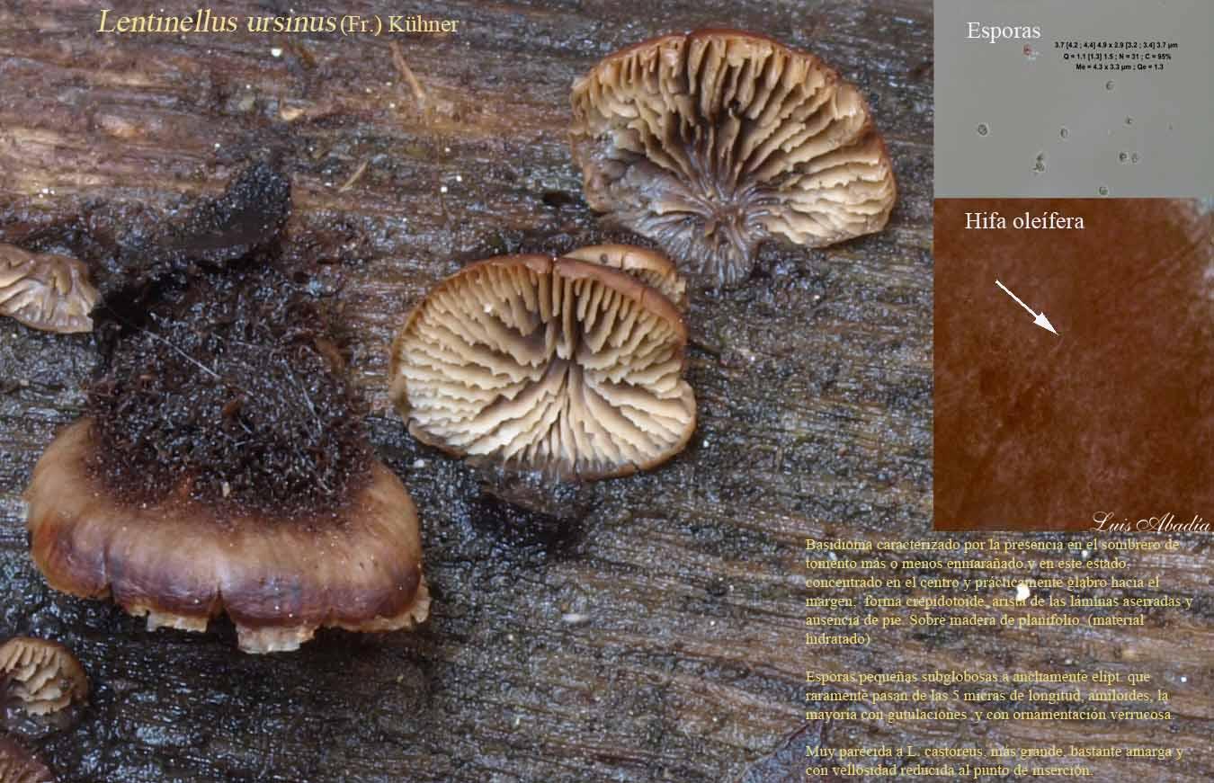 Lentinellus ursinus