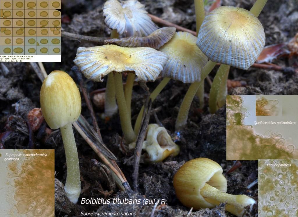 Bolbitius titubans