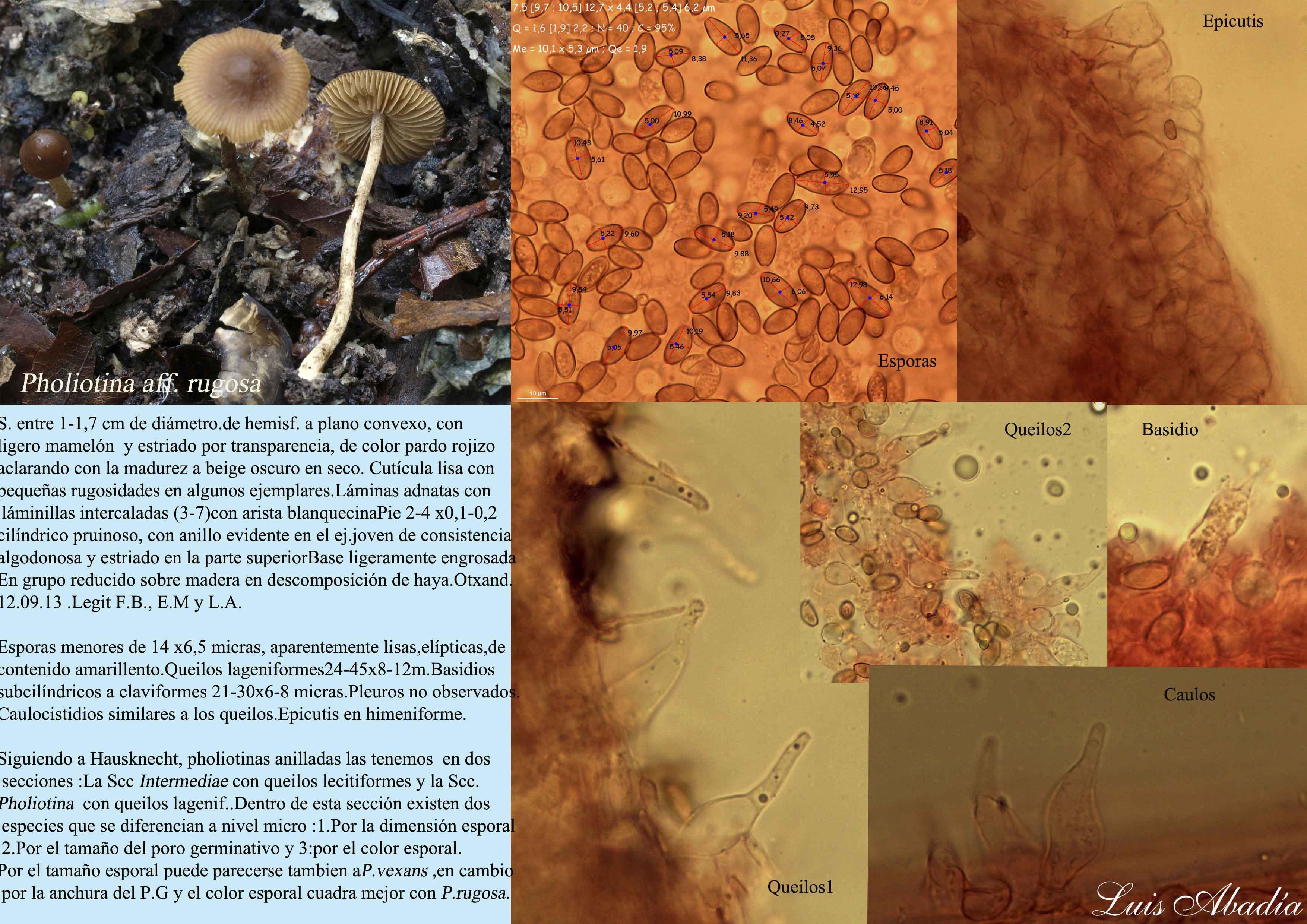 Pholiotina aff rugosa