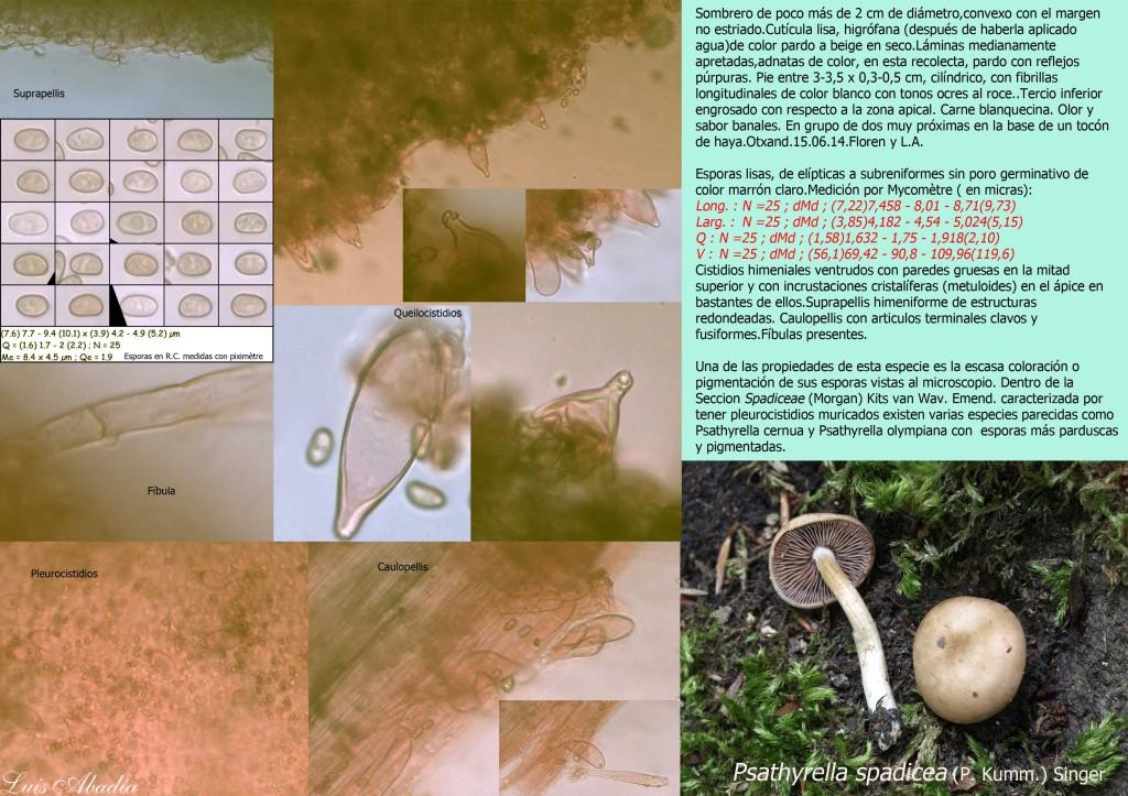 Psathyrella spadicea